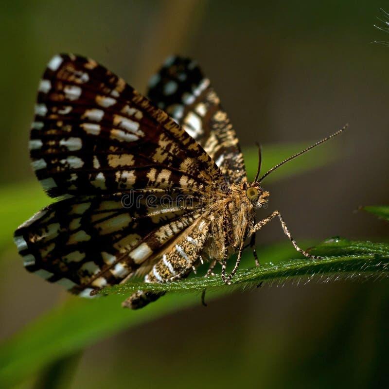 Vergitterter Heide, Chiasmia-clathrata ist eine Motte des Familie Geometridae stockfoto