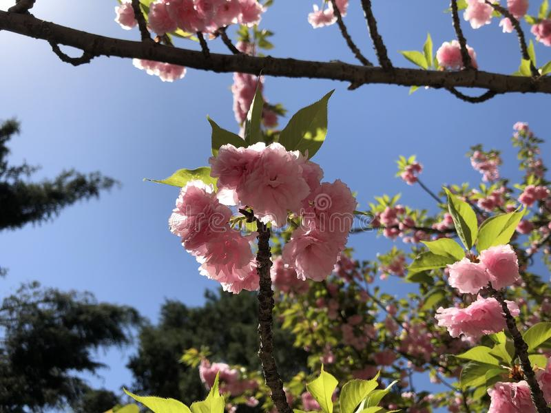 Vergogna Sakura fotografia stock