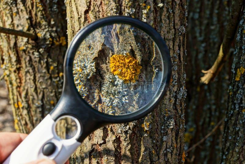 Vergrößerungsglas erhöht gelbes Moos und Flechte auf der braunen Barke eines Baums in der Natur lizenzfreie stockfotografie