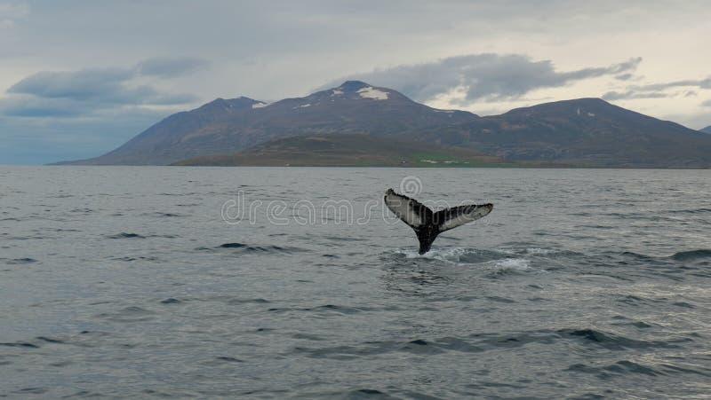 Verhaal van de walvis in de fjord stock fotografie