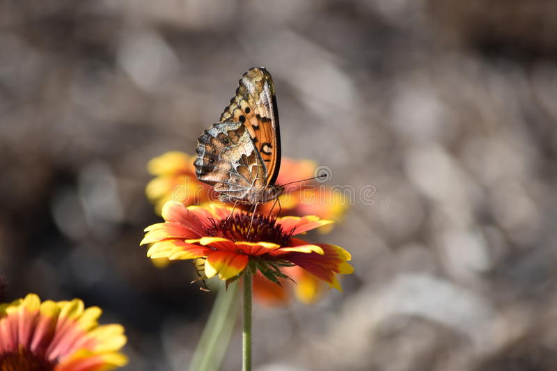 Veriegated Fritillary Butterfly on Blanket Flower stock images