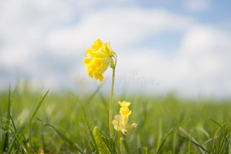 Veris de Primula photo libre de droits