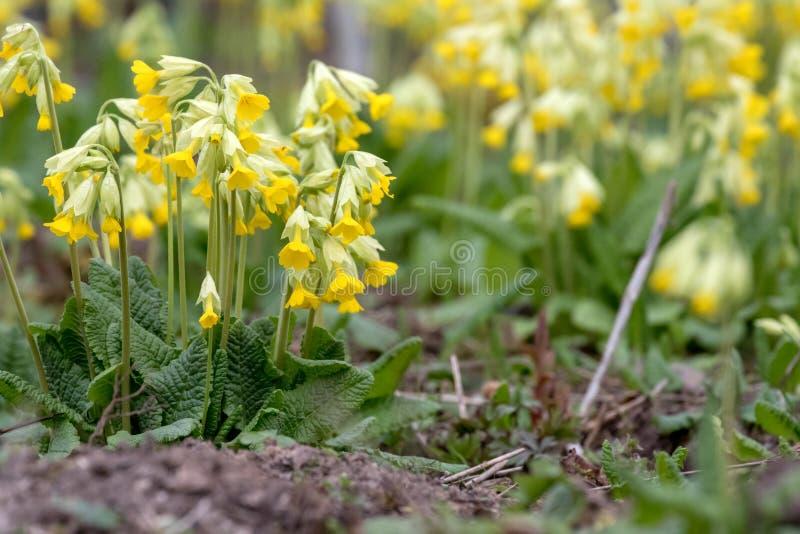 Veris de Primula image stock