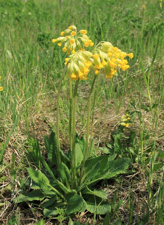 Veris del Primula fotografía de archivo