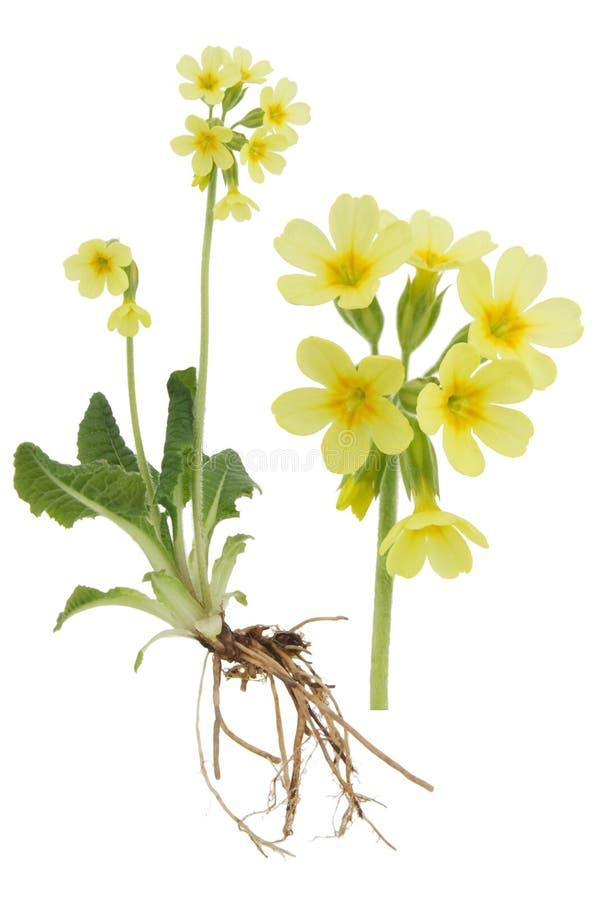 Verist de Primula van Paigle- stock fotografie