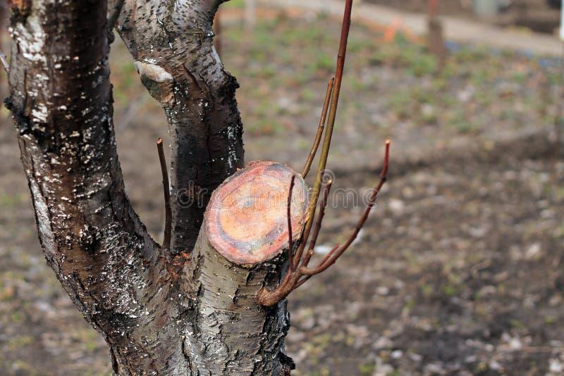 Verjongend het snoeien van oude fruitboom - pruim Sluit omhoog stock fotografie