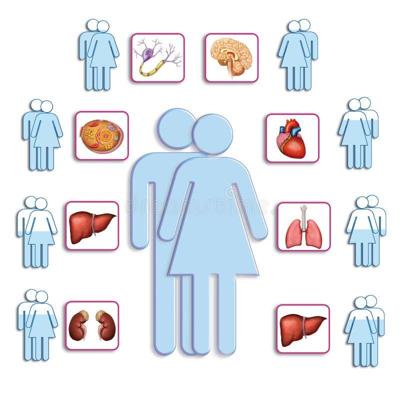 Organen van het menselijke lichaam royalty-vrije illustratie