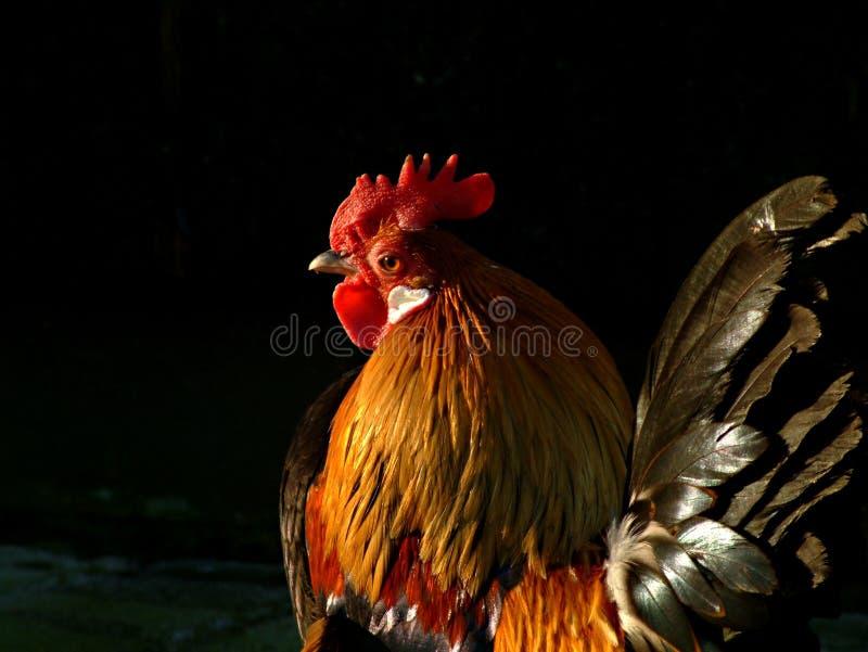 verklig hane färgrikt I royaltyfri foto