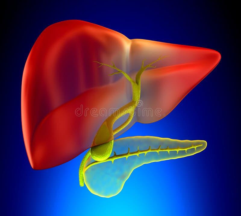 Verklig mänsklig anatomi för Gallbladdertvärsnitt - på blå backgroun vektor illustrationer