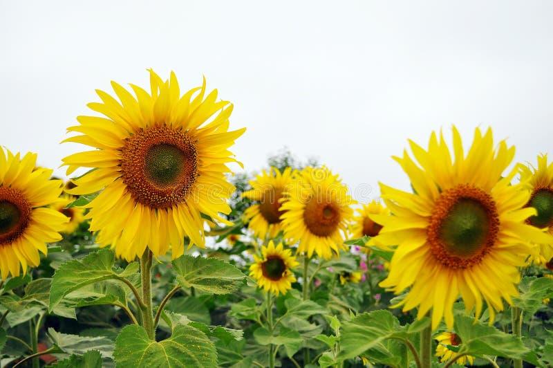 Verklig solros i naturlig trädgård royaltyfria foton