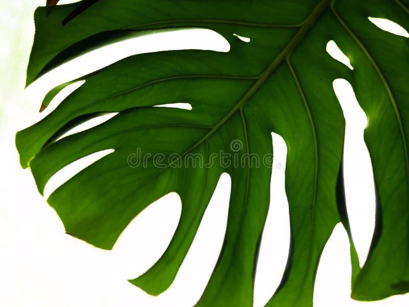 Verklig tropisk sidasplitleafphilodendron, monstera på vita bakgrunder Botaniska naturbegrepp Lekmanna- design för lägenhet grön  fotografering för bildbyråer