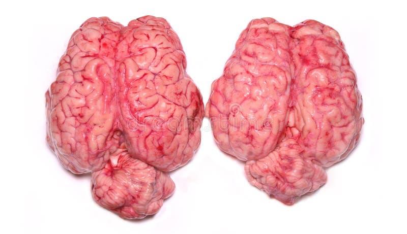 verkliga hjärnor arkivfoton