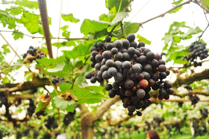 Verkliga organiska purpurfärgade grapefruktgrönsakbakgrunder royaltyfri foto