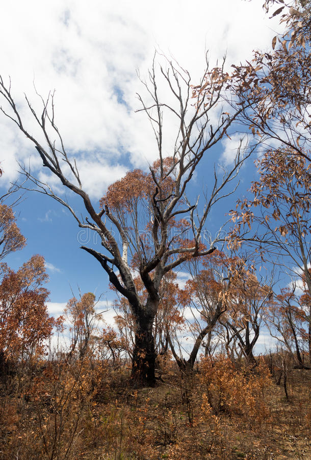 Verkohlte Bäume in den blauen Bergen Australien stockfotografie