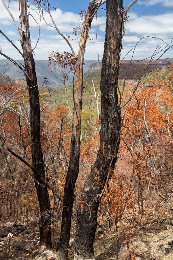 Verkohlte Bäume in den blauen Bergen Australien stockfotos