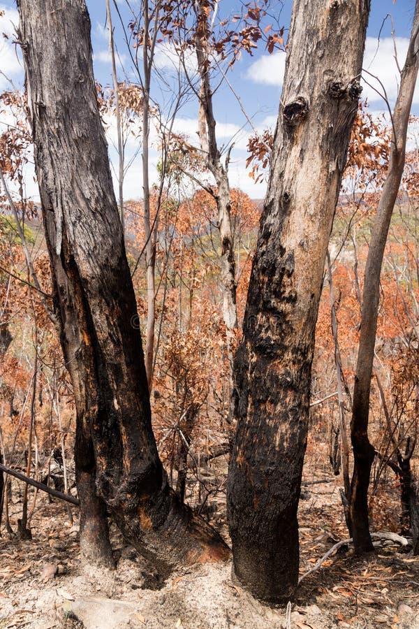 Verkohlte Bäume in den blauen Bergen Australien stockbild