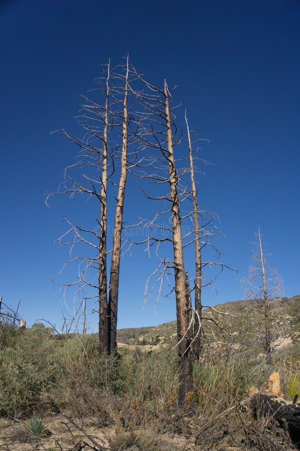Verkohlte Bäume im staatlichen Wald stockbilder