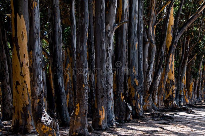 Verkohlte Eucalypus-Bäume durch die Straßenseite lizenzfreie stockfotografie