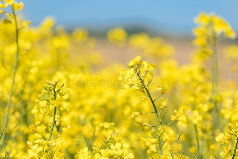 Verkrachtingsbloemen in de seizoenlente Geel gebied stock fotografie