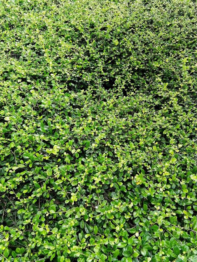 Verlaat banyan boom bloeiend is een muur De groene achtergrond van de bladerenmuur stock foto's