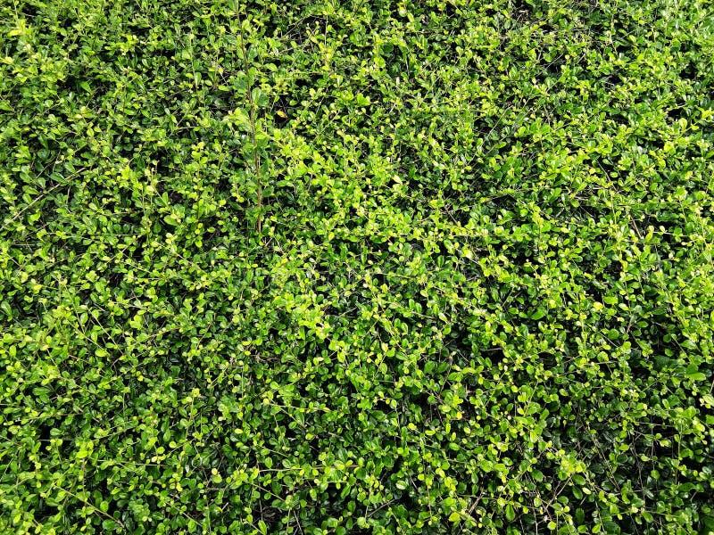 Verlaat banyan boom bloeiend is een muur De groene achtergrond van de bladerenmuur royalty-vrije stock foto's