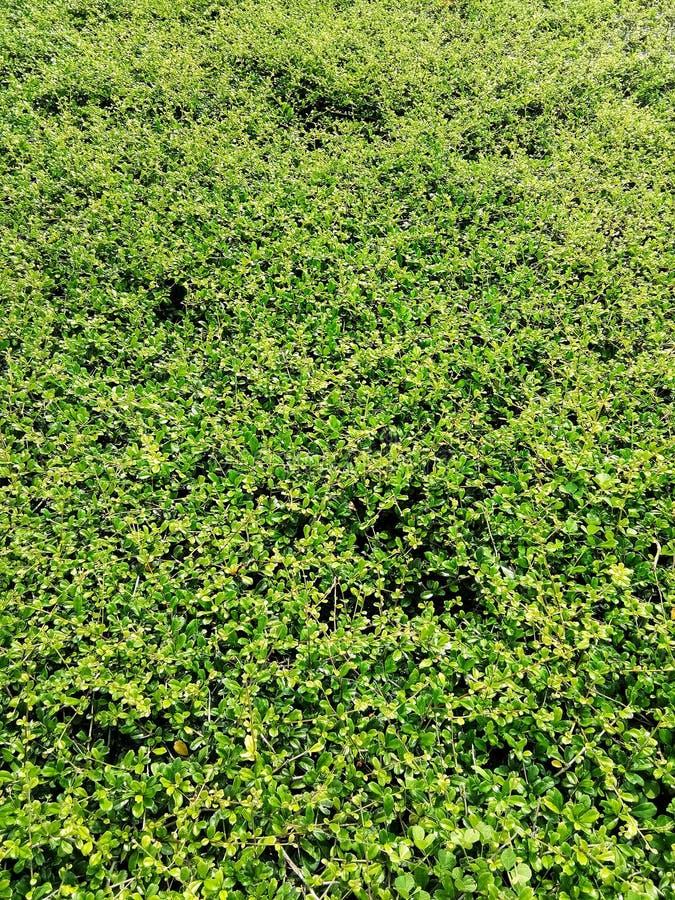 Verlaat banyan boom bloeiend is een muur De groene achtergrond van de bladerenmuur stock fotografie