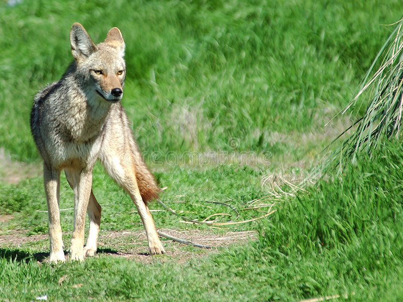 Verlassen Sie Kojoten 5 stockbild