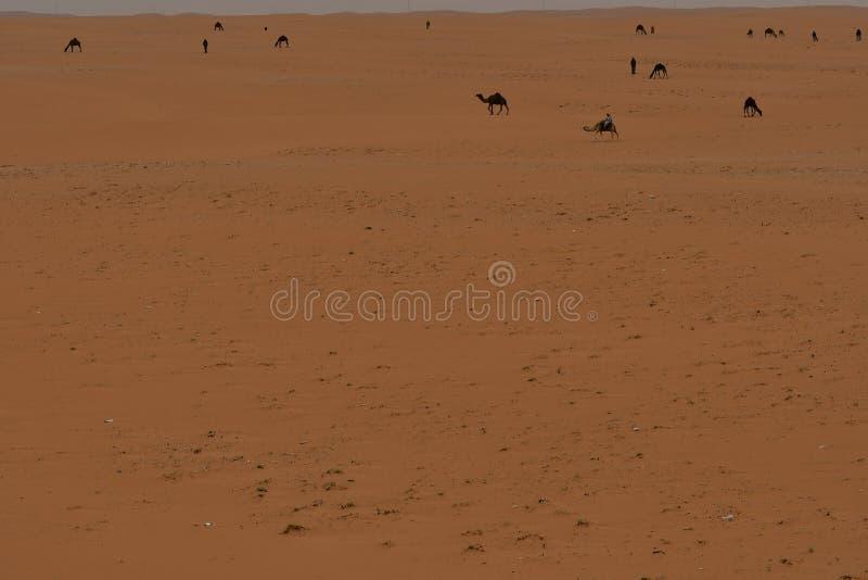 Verlassen Sie Sand und freie Kamele im Herzen von Saudi-Arabien lizenzfreie stockfotos