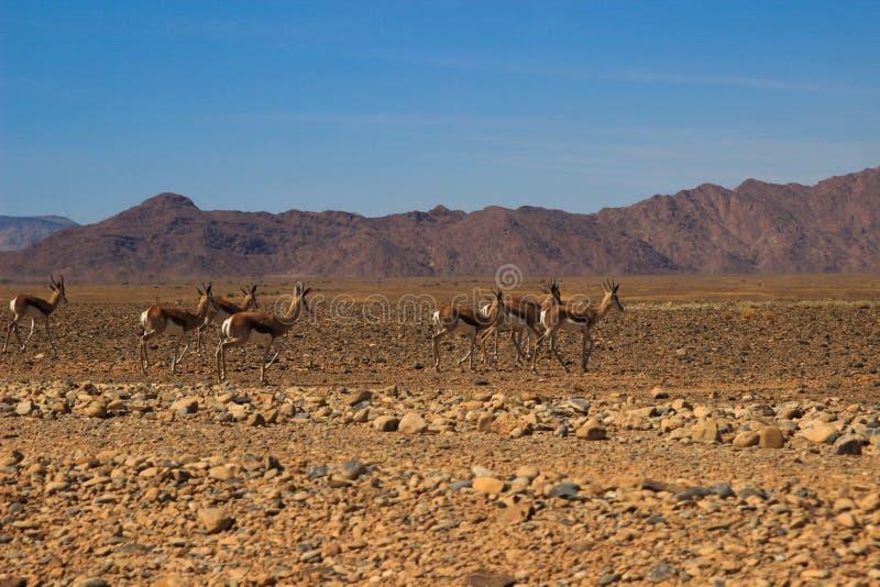 Verlaten droog oranje landschap van het lopen van Namibië en van de antilope royalty-vrije stock foto's