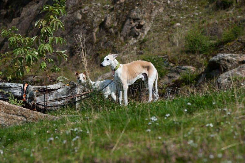 Verlaten honden royalty-vrije stock foto's