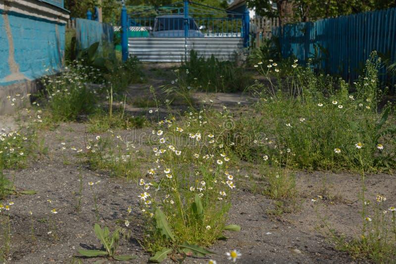 Verlaten overwoekerd met madeliefjes en grasyard in het platteland met een blauwe omheining en een poort stock foto's