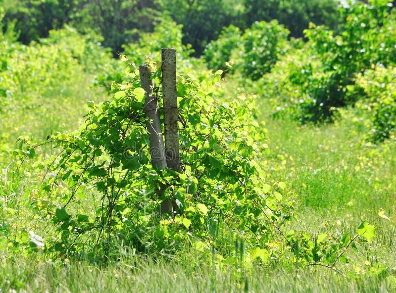 Verlaten wijngaard royalty-vrije stock afbeelding