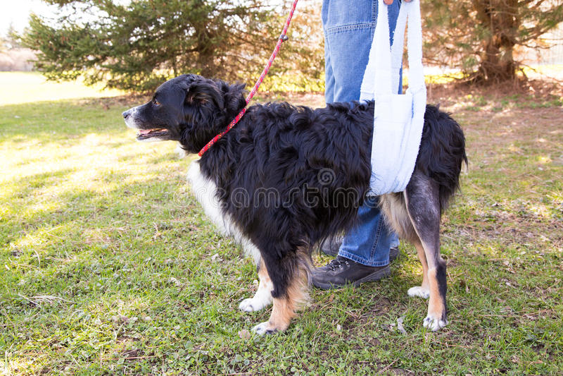 Verletzter Hund im Riemen lizenzfreie stockbilder