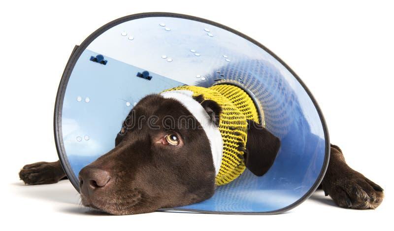 Verletzter Hund mit Kegel stockbild
