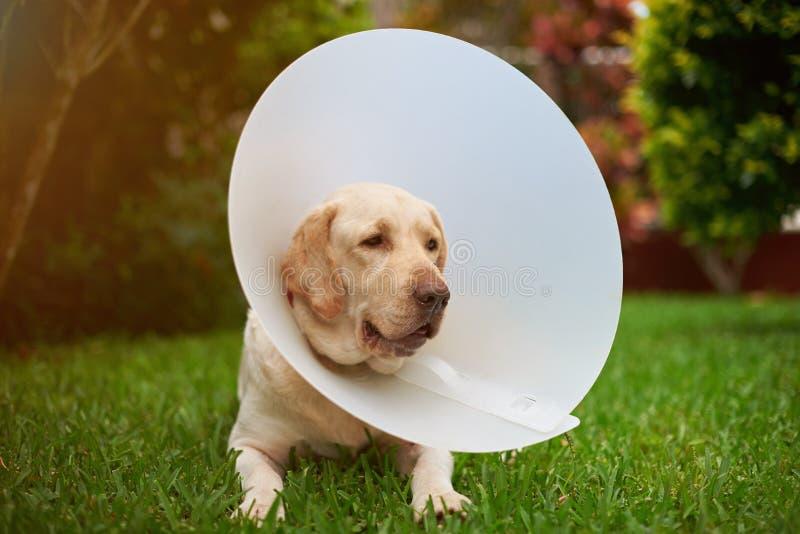 Verletzter Labrador-Hund mit Kegelkragen lizenzfreie stockfotografie
