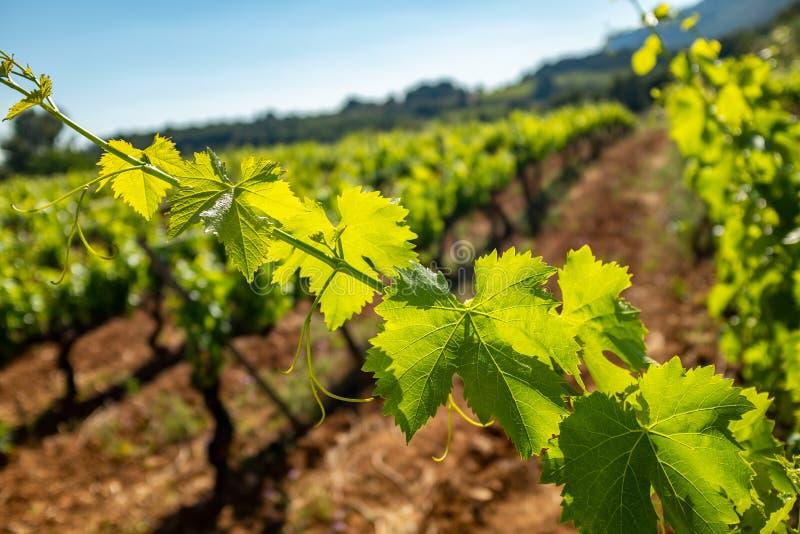 Verlichte wijnstokbladeren in wijngaard stock afbeelding