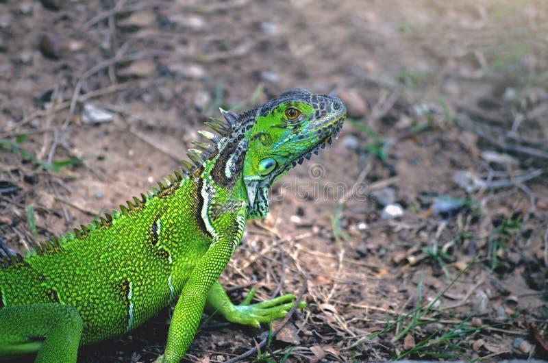 verlies omhoog Groene Hagedis kleurrijk in de dierentuin Chainat Thailand stock foto's