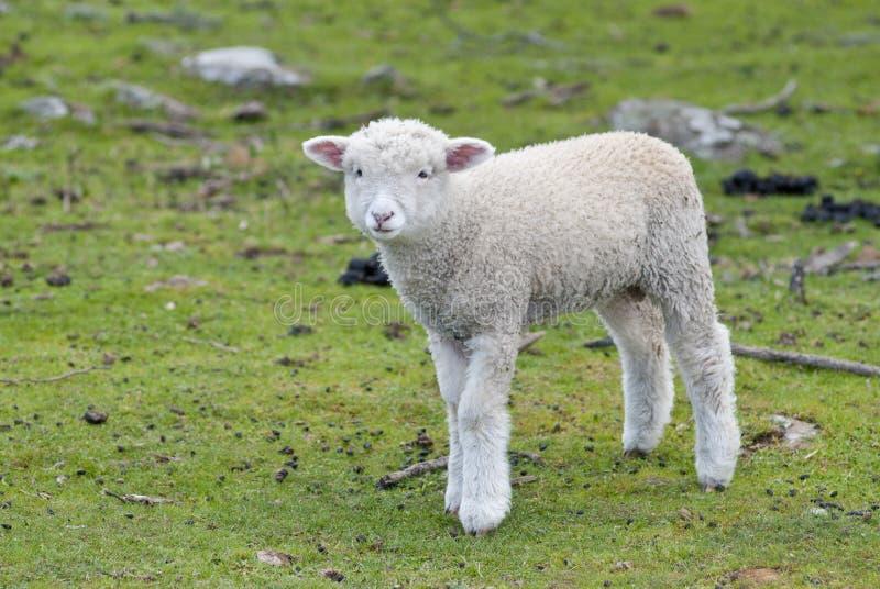 Verlorenes und einsames Lamm stockbilder