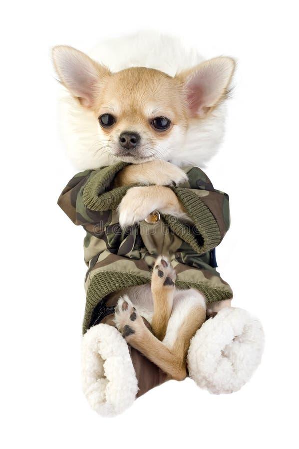 Vermakelijk puppy Chihuahua gekleed in kaki jumpsuit royalty-vrije stock afbeeldingen