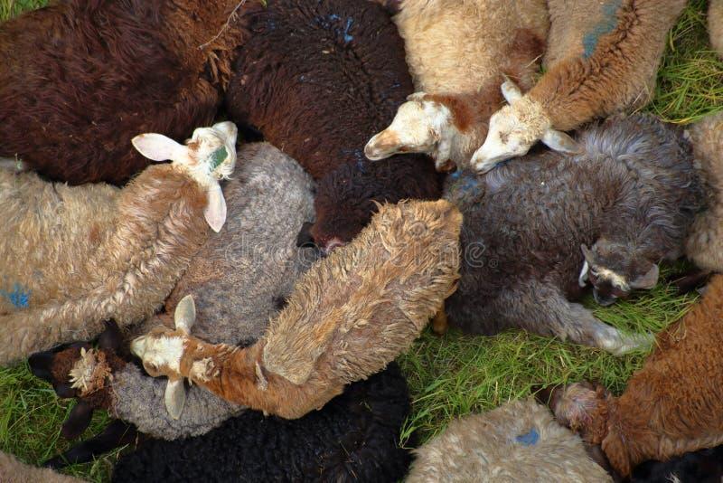 Vermakelijke kudde van schapenrust in een dichte stapel stock foto's