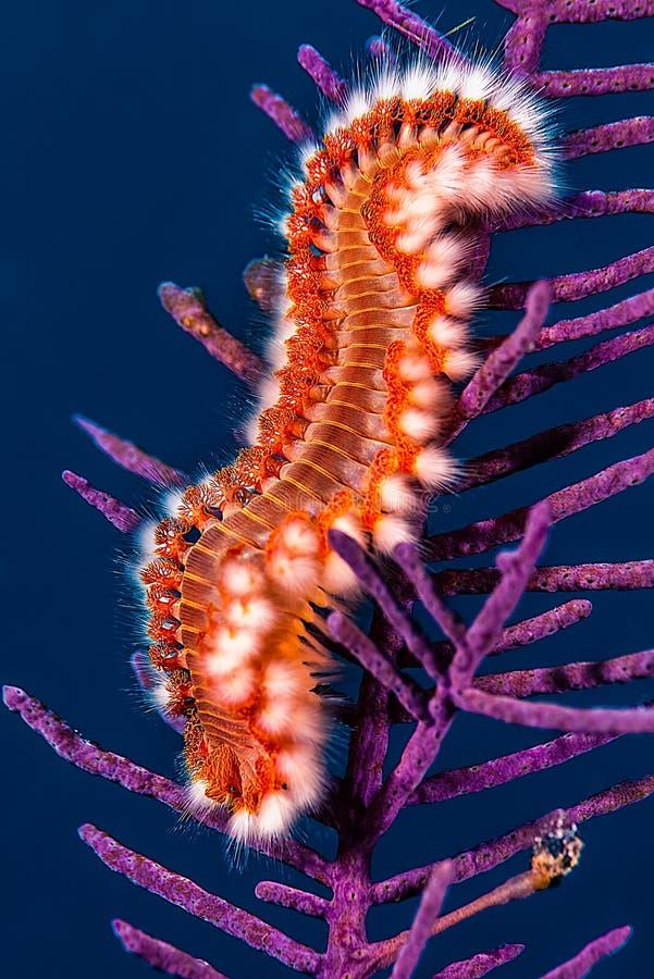 Verme barbuto del fuoco che si alimenta in un corallo porpora fotografia stock libera da diritti
