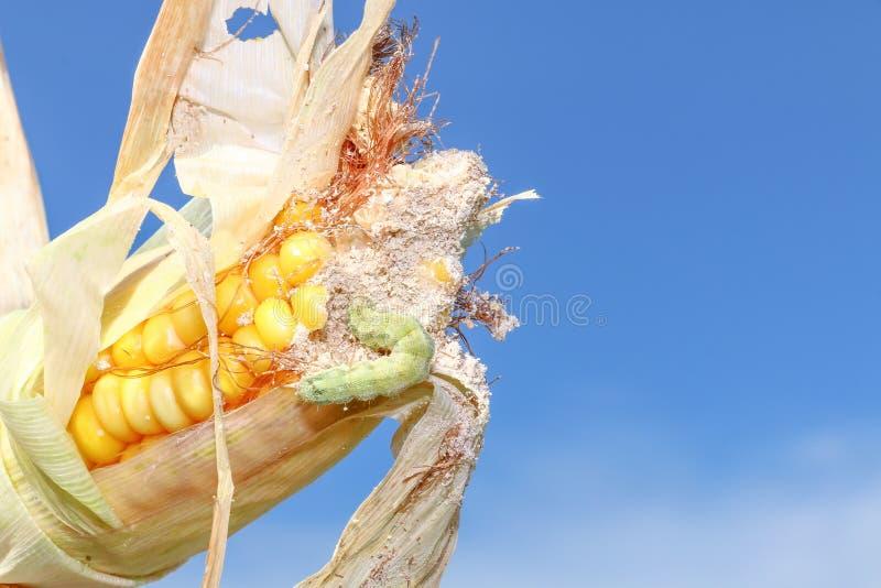 Verme in cereale fotografie stock libere da diritti