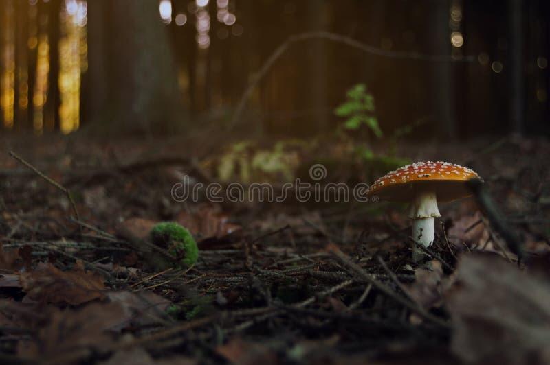 Vermehren Sie sich in den Wald während des Herbsttagesgiftpilzes explosionsartig stockfotografie