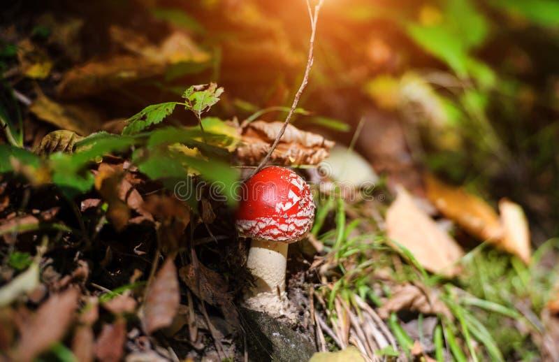 Vermehrt sich Giftpilze in der Natur explosionsartig Wulstlings-Fliegenpilz-Pilze stockfotos