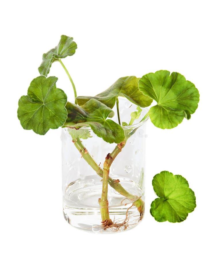 Vermehrung durch Stecklinge der Pelargonie lizenzfreies stockfoto
