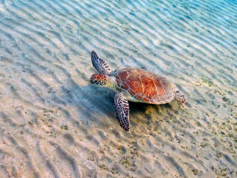 vermelha för sköldpadda för hav för bahia brazil coroaö arkivfoto