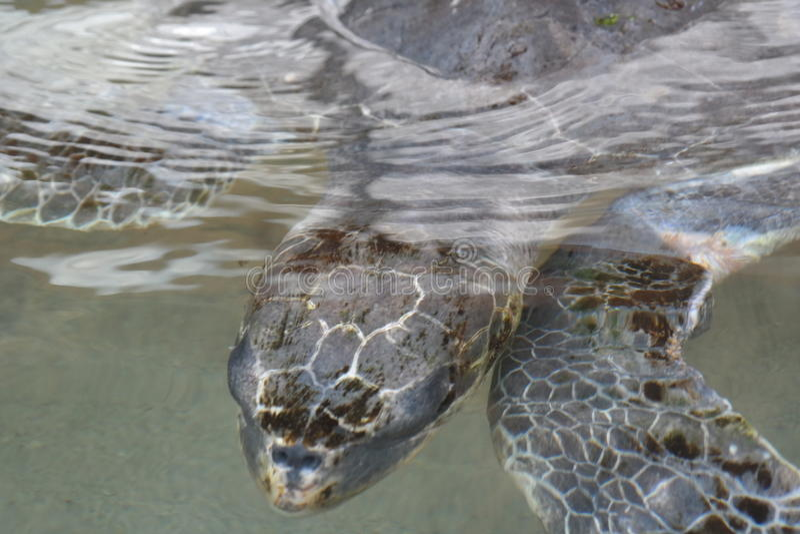 vermelha för sköldpadda för hav för bahia brazil coroaö royaltyfri bild