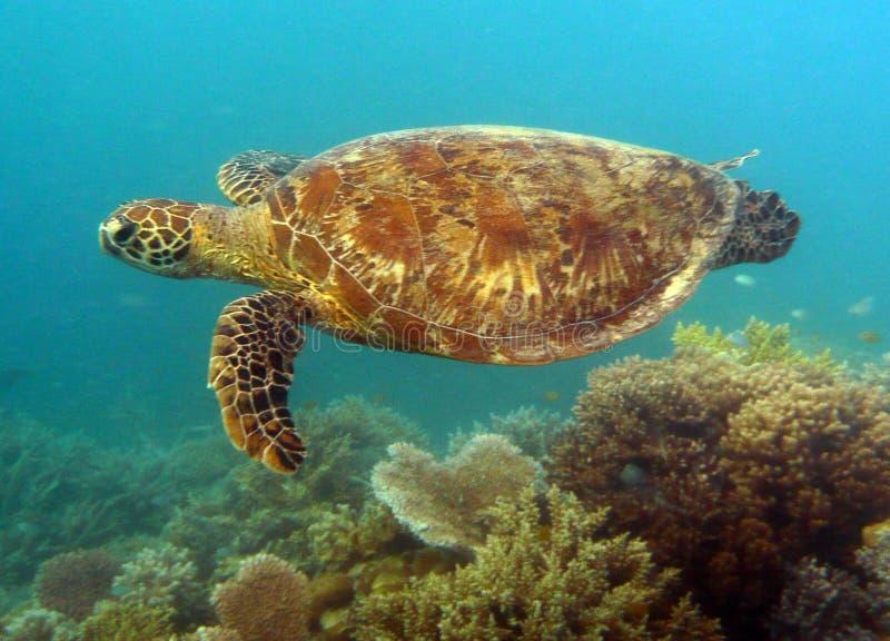 vermelha för sköldpadda för hav för bahia brazil coroaö royaltyfri fotografi