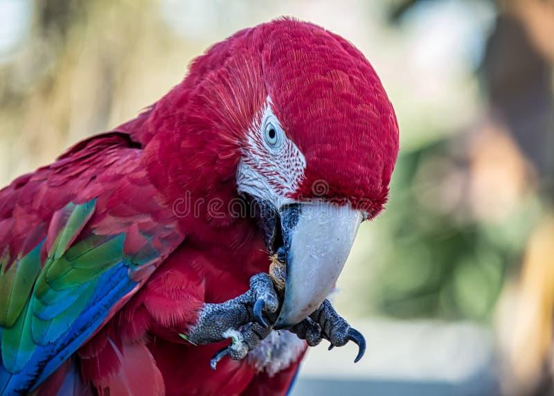 Vermelha rosso di Arara dell'ara aka - foto dettagliatamente dell'ara rossa che si alimenta frutta fotografie stock