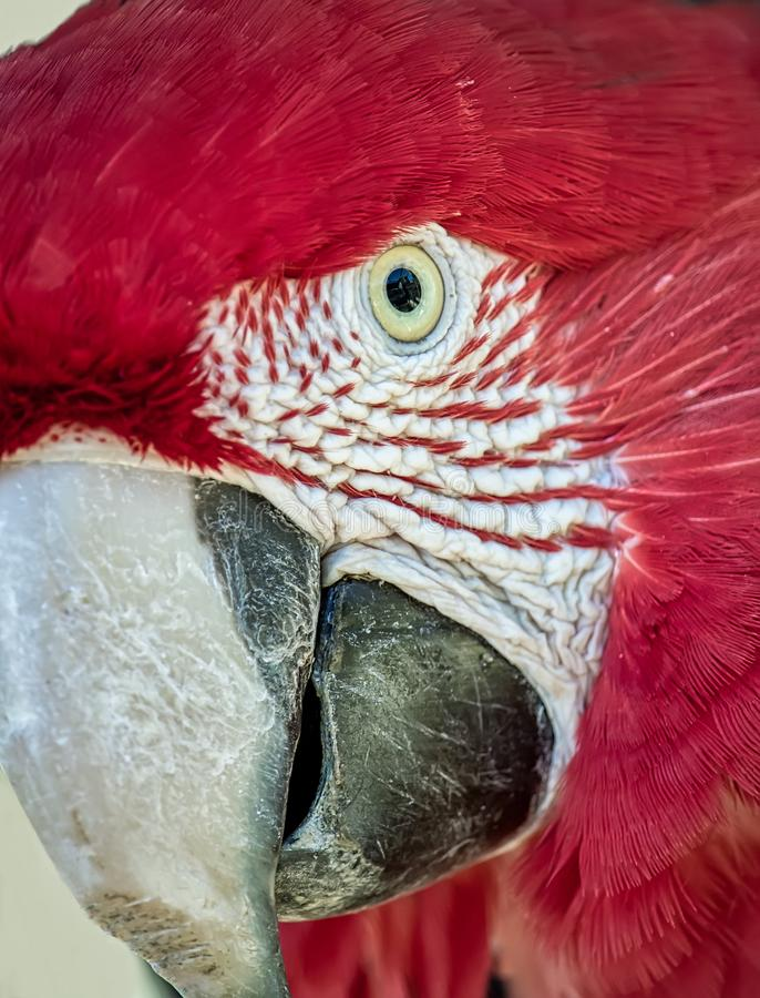 Vermelha vermelho de Arara da arara aka, pássaro brasileiro exótico - foto da cabeça de uma arara vermelha no close up fotos de stock royalty free